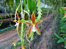 WOW Phalaenopsis Cornu Cervi Orchid plant species miniature THAILAND