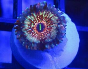 10 piece Zoanthid Coral Frag Pack( Preselected Frags) zoas, palythoas, High end