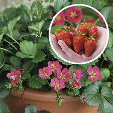 6 Everbearing Strawberry Plug Plants Toscana