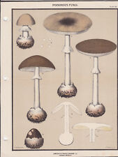 MUSHROOM PRINT. Edible Fungi Of New York. Circa 1900 ~Amanita Phalloides~