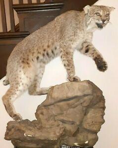 Beautiful North American bobcat mount