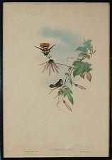 John Gould H.C Richter Hummingbirds Original Lithograph Lophornis Helenae