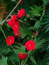 MORNING GLORY RED - CYPRESS VINE - 70 seeds - Ipomoea quamoclit  CLIMBING FLOWER