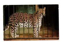 Leopard At The Zoo - Postcard Franked 1970