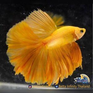 (Limitid Laxury) Premium Live Betta Fish : Male Rose Tail Banana