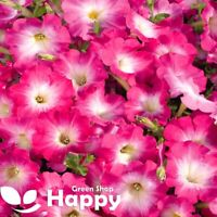 PETUNIA F1 PINK MORN - 100 seeds - Petunia multiflora F1 - All season flowering