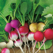 RAINBOW RADISH MIX RED YELLOW WHITE AND PURPLE VITAMIN RICH HUNDREDS OF SEEDS !