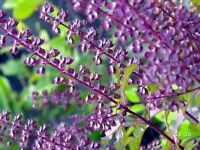 Best Of Red holy basil Seeds 2,000 seeds Ocimum sanctum herb Ship From Thailand