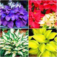 100pcs Hosta Perennials Plantain Rare Flower Seeds White Lace Ground Cover potte