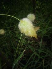 777 Grass Heirloom Wyldflower Seeds White Puff Cotton Bunny Tails Bulk Free Ship