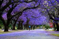 Blue Jacaranda Tree Seeds - 25 Seeds - Exotic Tree