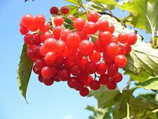 20 AMERICAN HIGHBUSH CRANBERRY Viburnum Trilobum Red Fruit Shrub Seeds *FlatShip