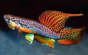 RARE KILLIFISH 30 EGGS Multicoloured lyretail Twostriped Free 2000 Fairy Shrimp