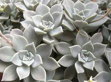 Ghost Plant Graptopetalum paraguayense Leaf Cuttings Blatt Ableger 10x