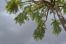 25 Boswellia Serrata Seeds,  Indian Frankincense Tree Seeds,