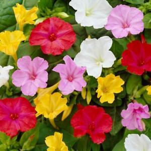 15 Semi fiori di Bella di Notte-Mirabilis Jalapa- Mix colori