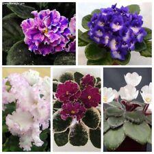50 African Violet Flower Seeds Saintpaulia 20 Kinds Garden Home Fragrant Plants