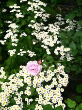 Mutterkraut Chrysanthemum Parthenium 3 Jungpflanzen aus Biogarten Heilpflanze
