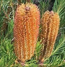 BIRD SONG BANKSIA native prolific bottlebrush flowers dwarf plant in 140mm pot