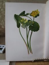 Vintage Print,MARSH MARIGOLD,Native Flowers+Ferns,Meehan,1880,Prang
