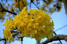 Yellow Trumpet Tree (Tabebuia Caraiba )flower 25 seeds,trees seeds,Yelow Trumpet