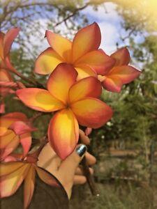 Frangipani cuttings