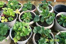 """ORGANIC STRAWBERRY PLANTS  1"""" BARE ROOT-EVERSWEET ,EVERBEARING 15 COUNT   U.S.A."""
