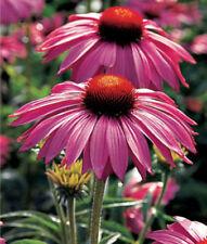 Echinacea 'Purpurea Primadonna Deep Rose' X 6 Jumbo Plug Plants Hardy Perennial