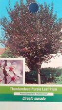 Thundercloud Purple Leaf Plum Tree Plant Home Garden Landscape Plants Trees