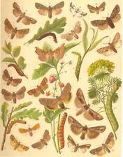NOCTUAE MOTH. Dusky Lemon Sallow; Red-headed, Dotted Chestnut; Satellite 1903