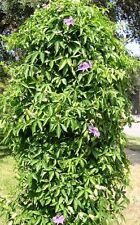 Passionsblume Passiflora caerulea winterhart...2MLJ