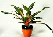 Mandarin Plant, Chlorophytum amaniense, 10 rare seeds, shade, easy houseplant