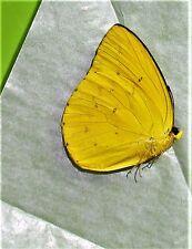 Lot of 2 Orange Migrant Catopsilia scylla cornelia Male Folded FAST FROM USA