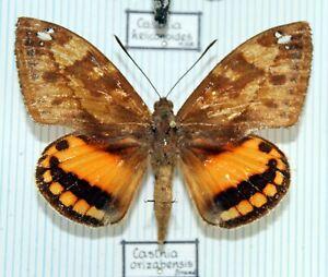 Schmetterlinge - butterflies - Sammlerexemplare gespannt - CASTNIIDAE No.10