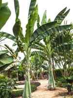 Musa ensete, 10 Samen, Ensete glaucum, Schneebanane, winterhart