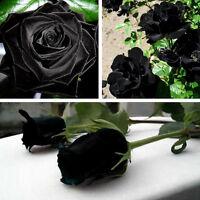 100Pcs Mysterious Black Rose Flower Seeds Rare Black Rose Seeds Garden Decor