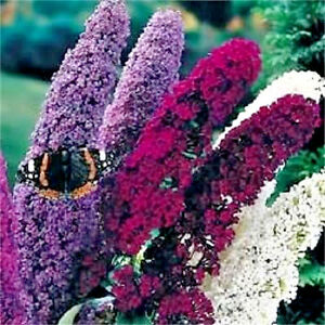 100 MIXED COLORS BUTTERFLY BUSH Buddleia Davidii Flower Seeds + Gift & Comb S/H