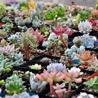400pcs Mixed Succulent Seeds Lithops Rare Living Stones Plants Cactus Home TCUS