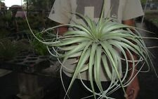 xerographica x fasciculata tillandsia 6-7 inch across seedling. airplant hawaii