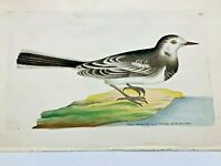 White Wagtail - 1783 RARE SHAW & NODDER Hand Colored Copper Engraving