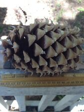 "Lot Of Two  6-8"" Lb Coulter Pine Cone -  Fresh And Awesome new cones November 17"