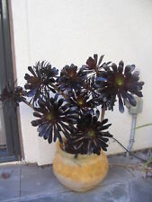 "TWO (2 ) 5"" Cuttings Black Rose Aeonium arboreum SCHWARZKOPF Zwartkop Succulent"
