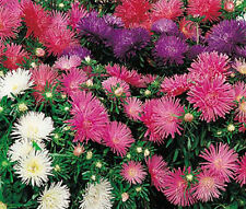 ASTER STARLIGHT MIXED COLORS Callistephus Chinensis - 20 Seeds