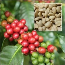 Coffea Arabica 20 Seeds, Coffee Seeds, Arabica For Cultivation, Plant From Thai