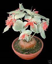 Sinningia leucotricha 'Brazillian Edelweisse' Caudex plant x 1