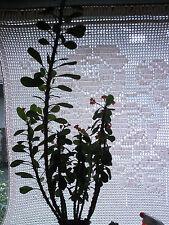**Christusdorn** Euphorbia milii 1 Ableger wow rot blühend unbewurzelt TOP SALE