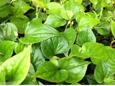 10 Bare Root Fish Mint Houttuynia Cordata Asian Herb Live Starter Plants Diếp Cá