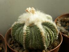 Aztekium ritteri 100 seeds