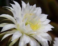 Espectacular Floración Cactus Trichocereus - Semillas Frescas