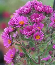 Pink September Ruby Aster novae-angliae Hummingbird Butterflies Pollinators